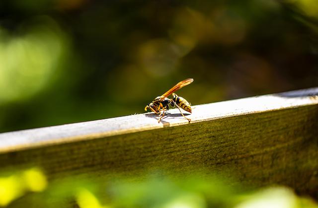 あしながバチ